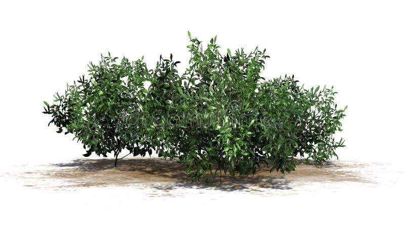 Varios arbustos de la azalea - verde ilustración del vector