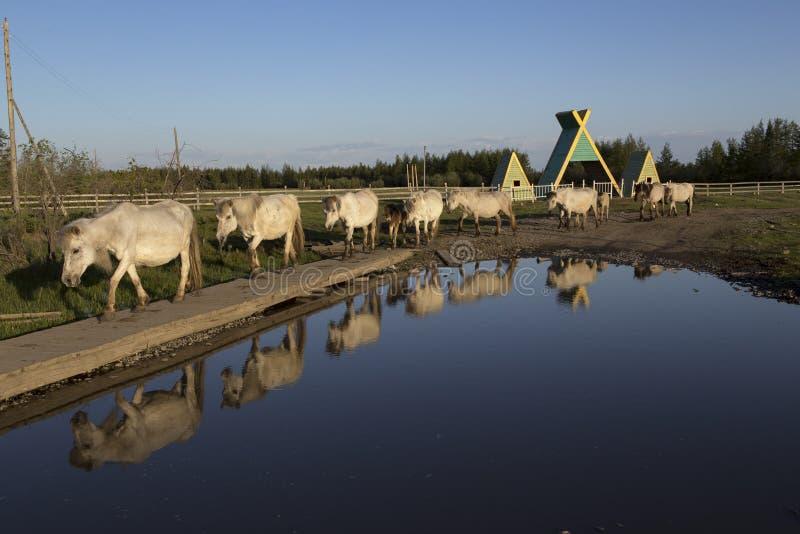 Varios caballos blancos que corren a lo largo de los charcos fotos de archivo libres de regalías
