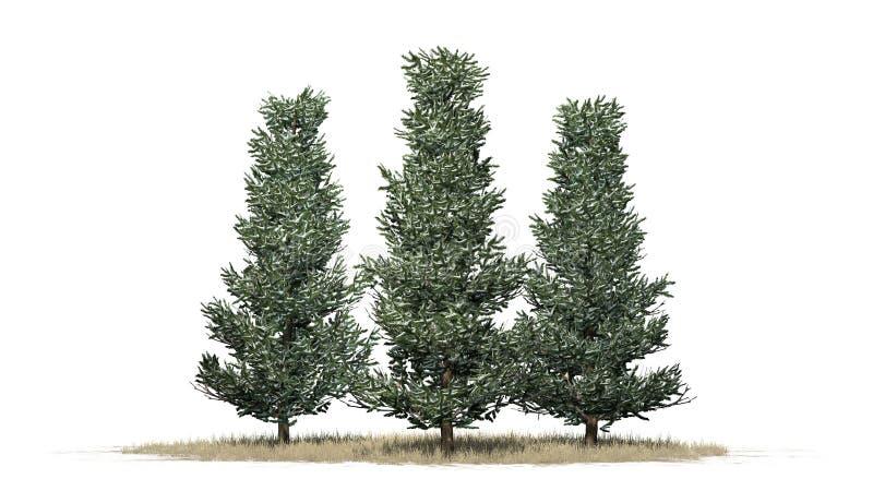 Varios diversos árboles de Fraser Fir en el invierno libre illustration