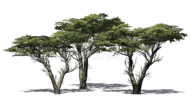 Varios diversos árboles de Monterey Cypress ilustración del vector