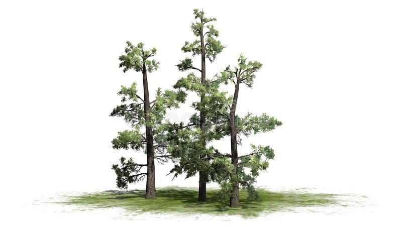 Varios diversos árboles del este de White Pine libre illustration