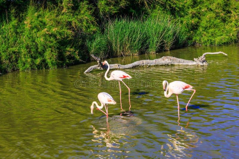 Varios flamencos rosados en el delta del Rhone foto de archivo