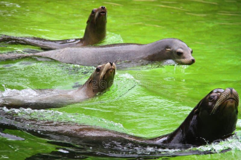 Varios lobos marinos en la piscina fotos de archivo libres de regalías