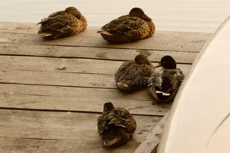 Varios patos imagen de archivo