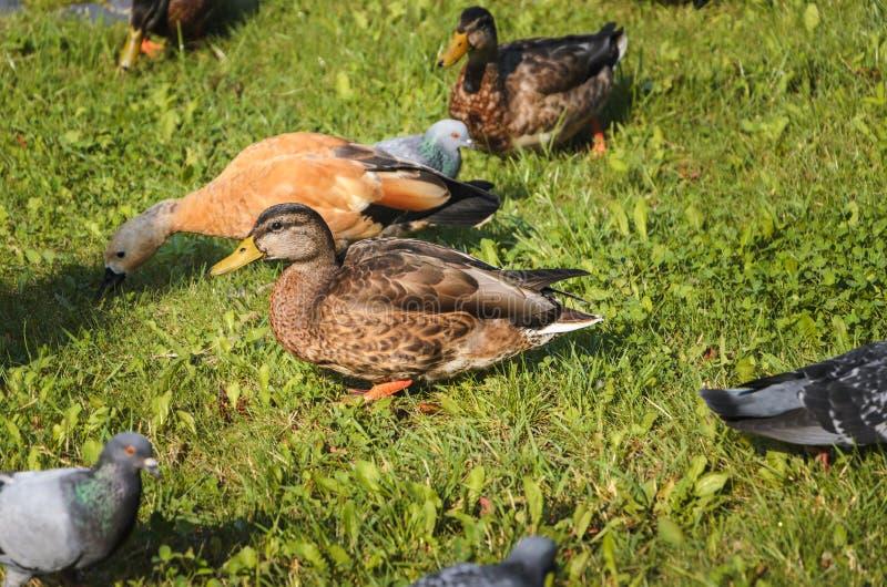 Varios patos en el parque en el verano del sueño y del resto imagenes de archivo
