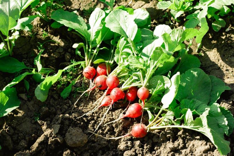Varios rábanos maduros rosados tempranos en la tierra en el jardín en un día soleado Rábano maduro en el jardín imágenes de archivo libres de regalías