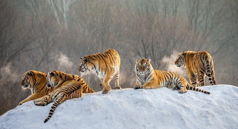 Varios tigres siberianos en una colina nevosa contra la perspectiva de árboles del invierno China harbin Provincia de Mudanjiang imágenes de archivo libres de regalías
