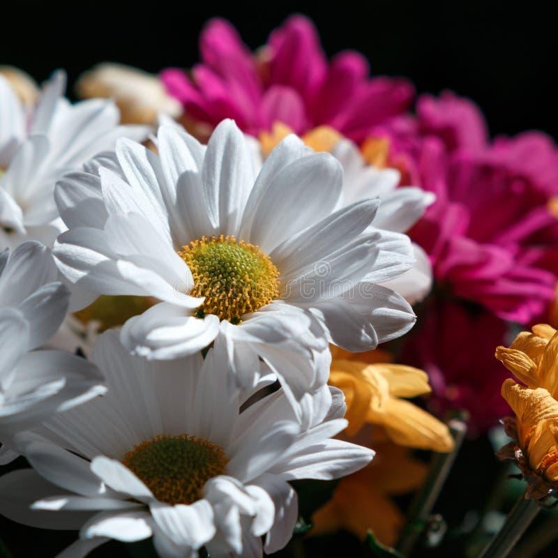Various сhrysanthemums flowers on black background royalty free stock image