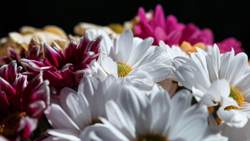 Various сhrysanthemums flowers on black background. Сopy space royalty free stock photography