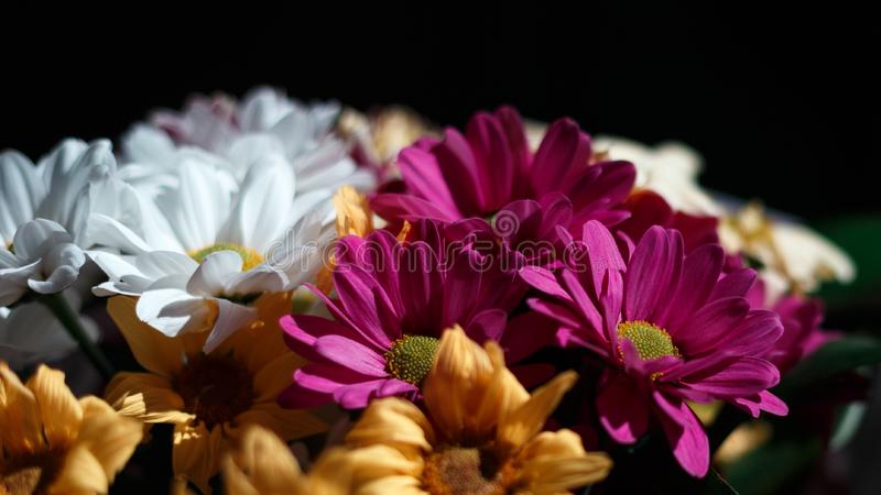 Various сhrysanthemums flowers on black background royalty free stock photography