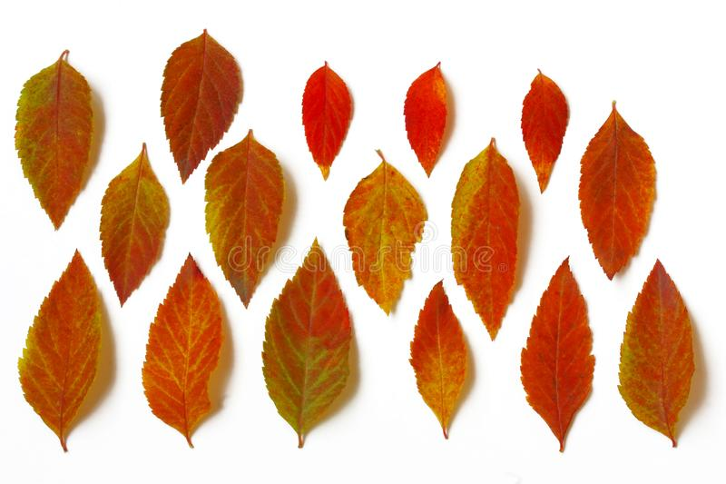 Various autumn bright leaves arranged in row royalty free stock images