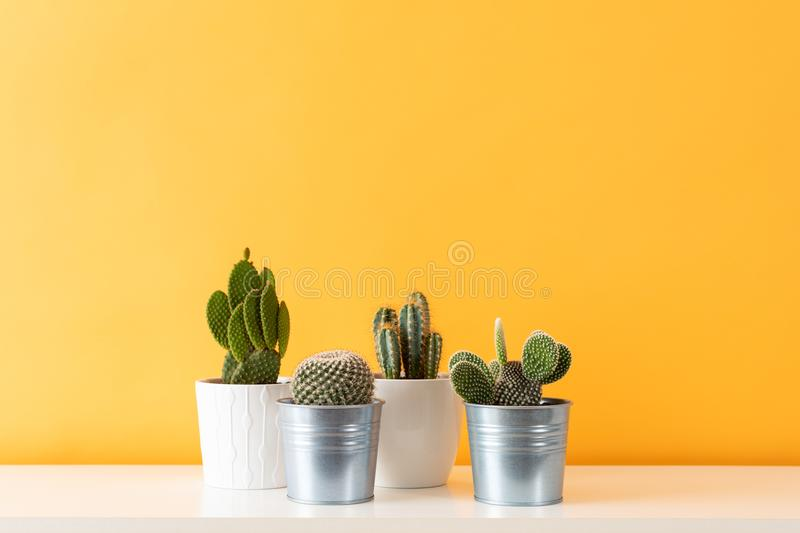 Various cactus plants in different pots. Potted cactus house plants on white shelf against pastel mustard colored wall. Collection of various cactus plants in royalty free stock photography