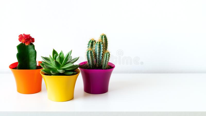 Various cactus and succulent plants in bright colorful flower pots against white wall. House plants on white shelf. Various cactus and succulent plants in royalty free stock photography