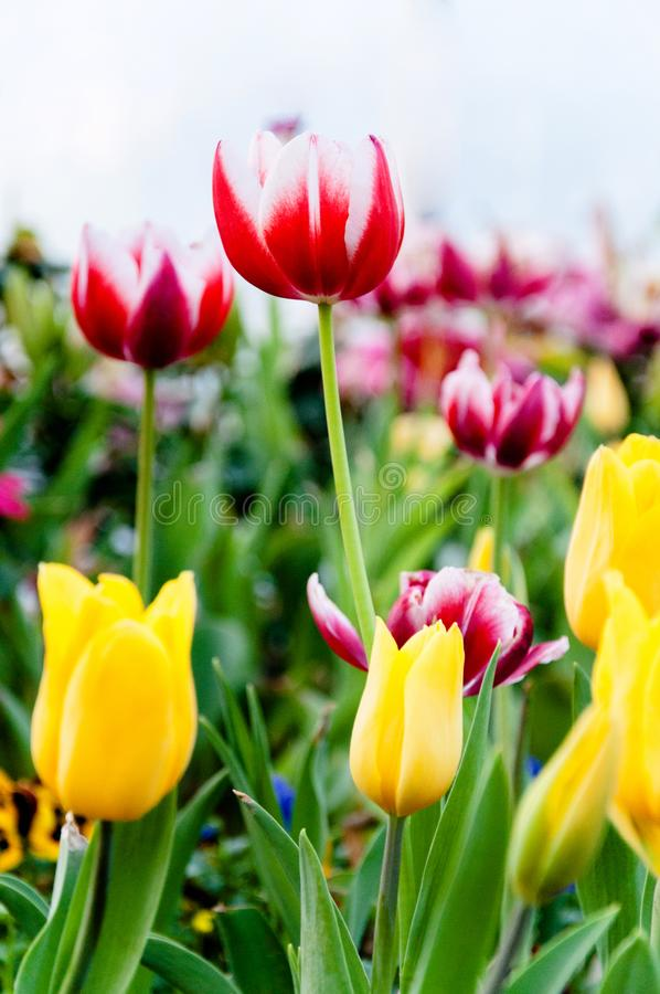 Various colourful Tulips, Yellow Tulips, Red Tulips royalty free stock photo