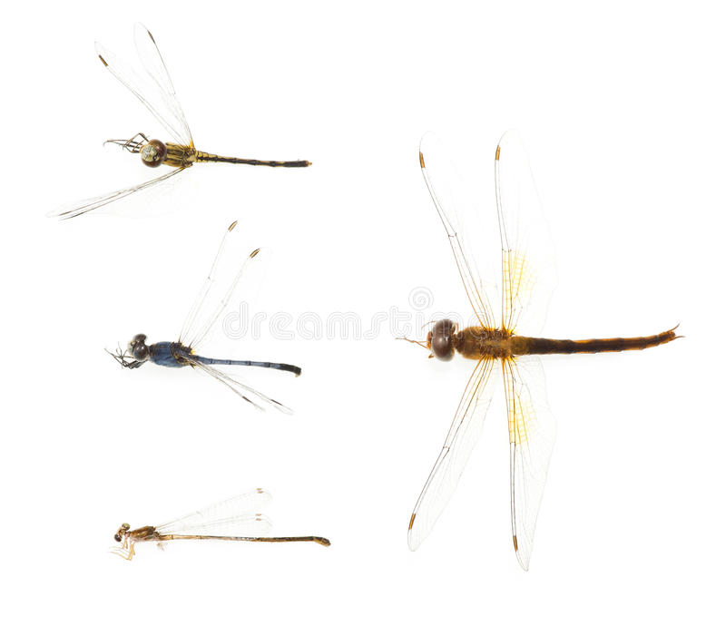 Download Dragonfly remains stock photo. Image of animal, closeup - 29889248