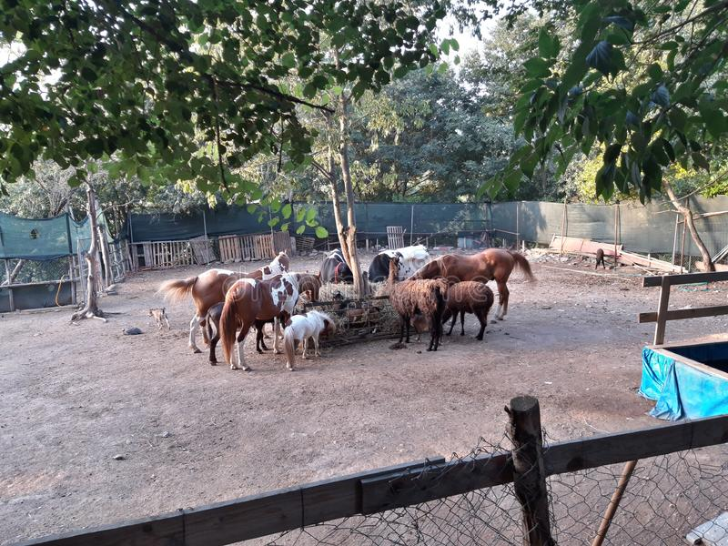 Various farm& x27;s animals. They  are eating all together. There are horses, ponies, cows and goats royalty free stock photos