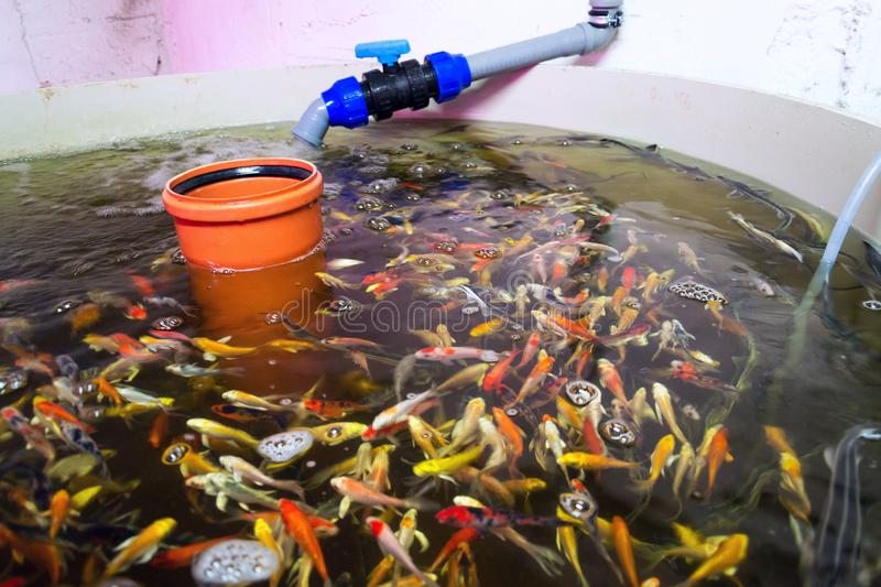 Various fish species in aquaponics system, combination of fish aquaculture with hydroponics, cultivating plants in water. Under artificial lighting stock images