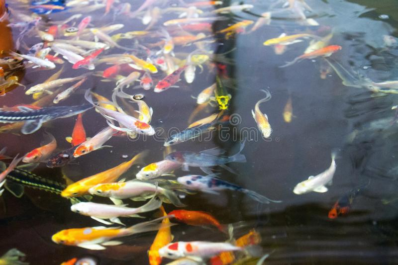 Various fish species in aquaponics system, combination of fish aquaculture with hydroponics, cultivating plants in water. Under artificial lighting royalty free stock photos