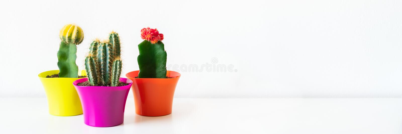 Various flowering cactus plants in bright colorful flower pots against white wall. House plants on white shelf web banner. Various flowering cactus plants in royalty free stock images