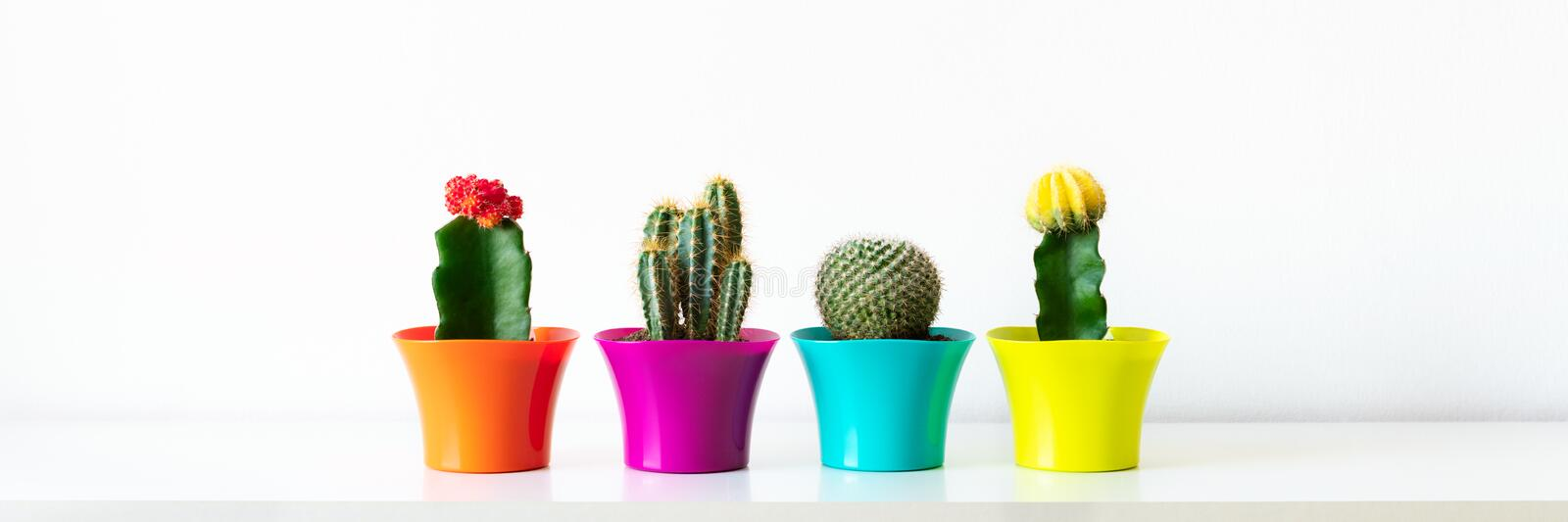 Various flowering cactus plants in bright colorful flower pots against white wall. House plants on white shelf web banner. Various flowering cactus plants in stock photo