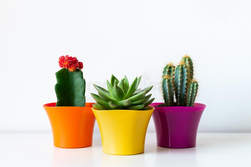 Various flowering cactus and succulent plants in bright colorful flower pots against white wall. House plants on white shelf. Various flowering cactus and stock photography