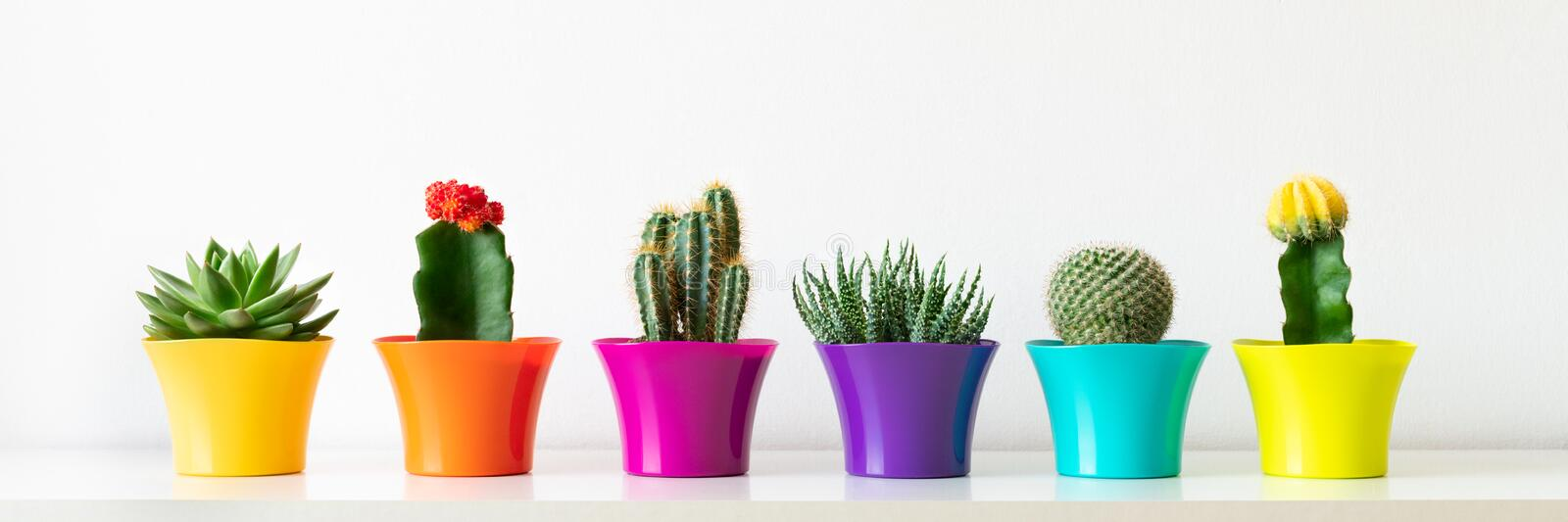 Various flowering cactus and succulent plants in bright colorful flower pots against white wall.House plants on white shelf banner. Various flowering cactus and royalty free stock image