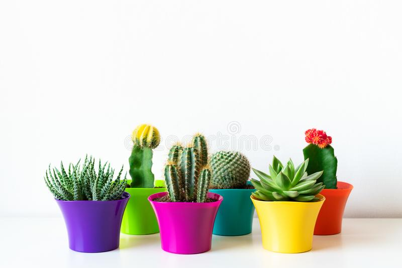 Various flowering cactus and succulent plants in bright colorful flower pots against white wall. House plants on white shelf. Various flowering cactus and stock images