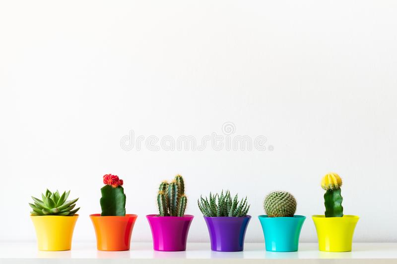 Various flowering cactus and succulent plants in bright colorful flower pots against white wall. House plants on white shelf. Various flowering cactus and royalty free stock image