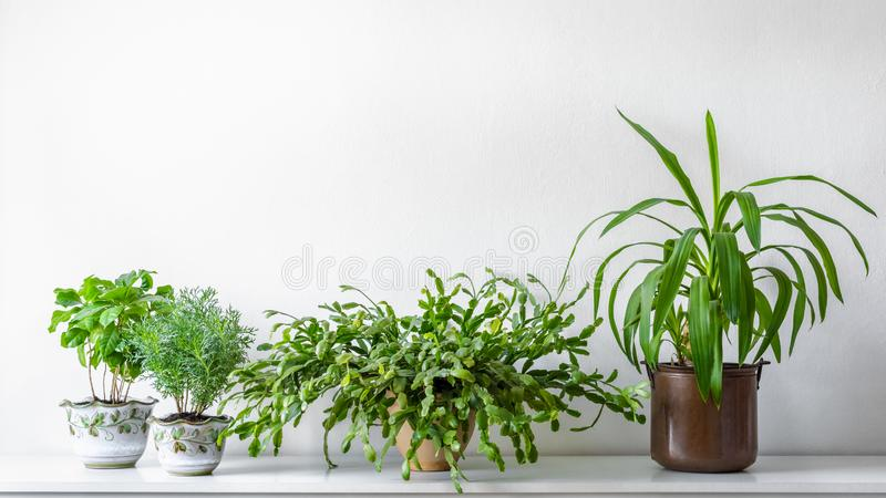 Various house plants in different pots against white wall. Indoor potted plants background. Modern room decoration stock photo