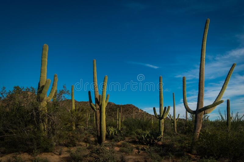 Various huge green saguaro cacti in Sonora desert near Tucson on sunny day. Various huge green saguaro cacti in Sonora desert near Tucson , Arizona. Sunny day stock image