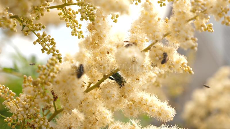 Various insects collect nectar from blooming yellow flowers on a branch. close-up. White flowers on a tree branch are royalty free stock photos