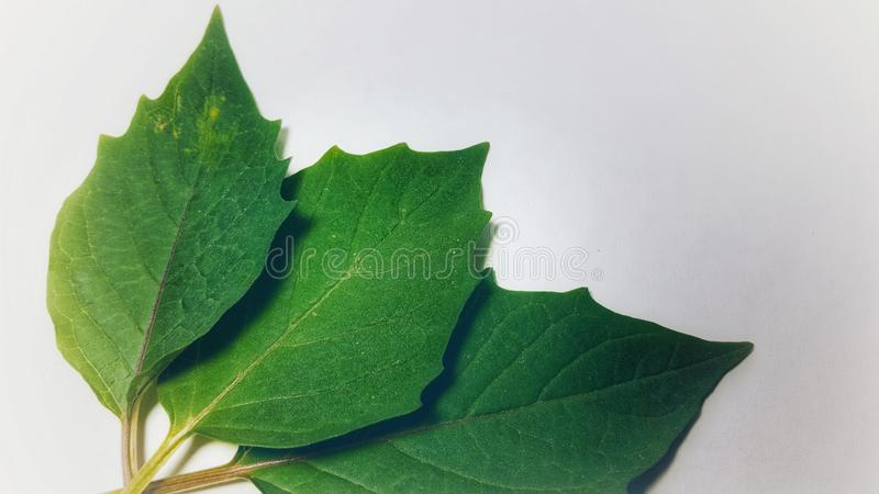 Various leaves of plants in isolated mode. Natural texture, suitable for use as educational material or background images royalty free stock photos