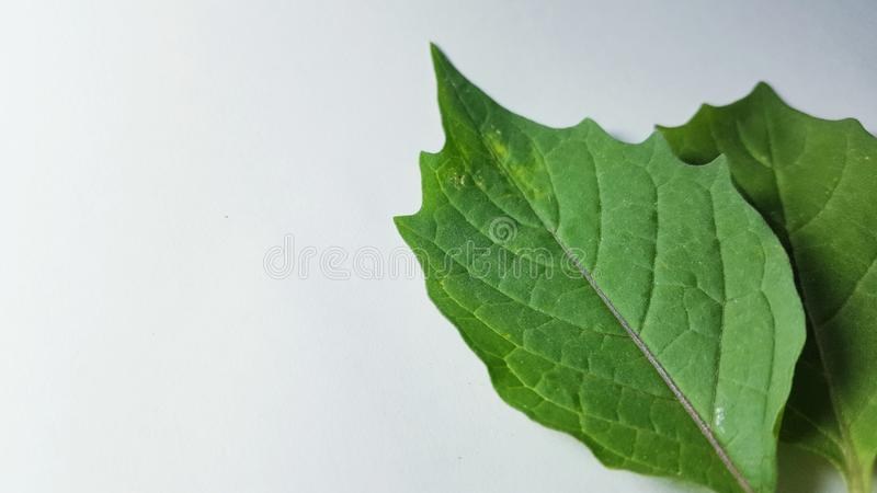 Various leaves of plants in isolated mode. Natural texture, suitable for use as educational material or background images stock photos