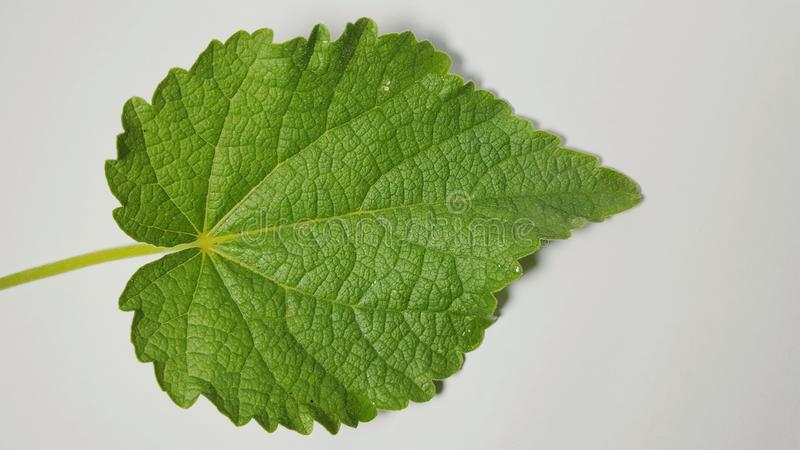Various leaves of plants in isolated mode. Natural texture, suitable for use as educational material or background images royalty free stock images