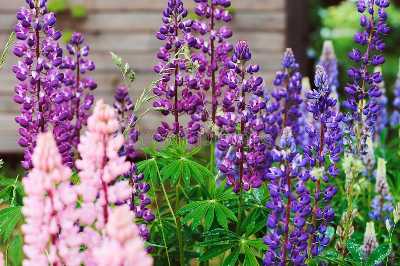 Various multicolour lupine flowers blooming in summer garden stock image