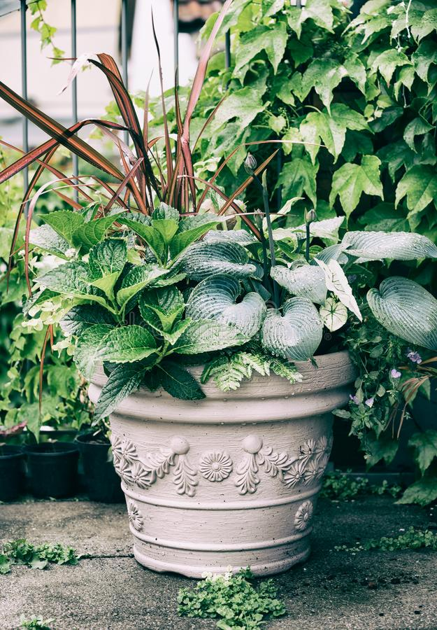 Free Various Ornamental Green Plants In Flower Pot With Hosta And Red Ornamental Grass Royalty Free Stock Photography - 110739237
