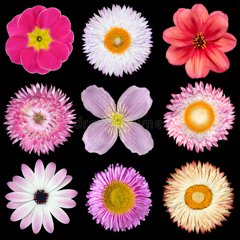 Various Pink, Red, White Flowers Isolated on Black stock image