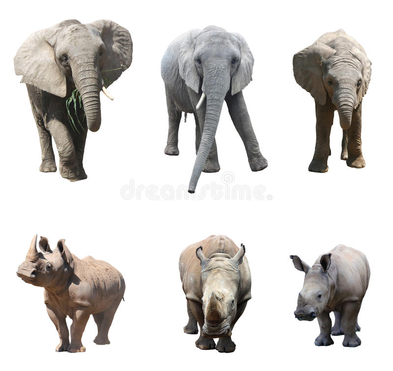 The various postures of the african elephant and white rhinoceros or square-lipped rhinoceros on white background. African elephants and white rhinoceros or stock photography