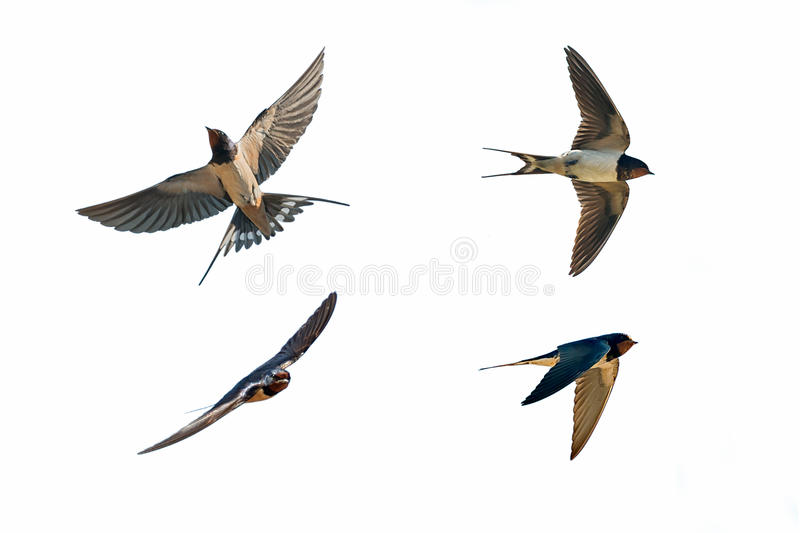 Various postures of swallow on white. Various postures of swallow hirundo rustica on white background stock images