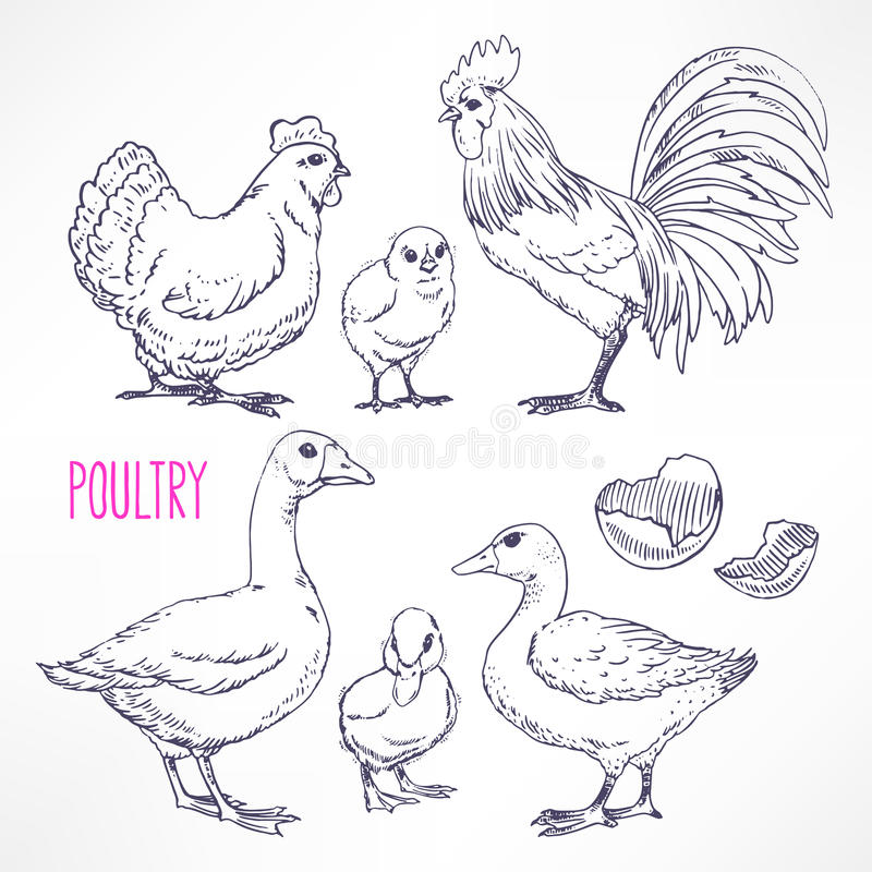 Various poultry stock illustration