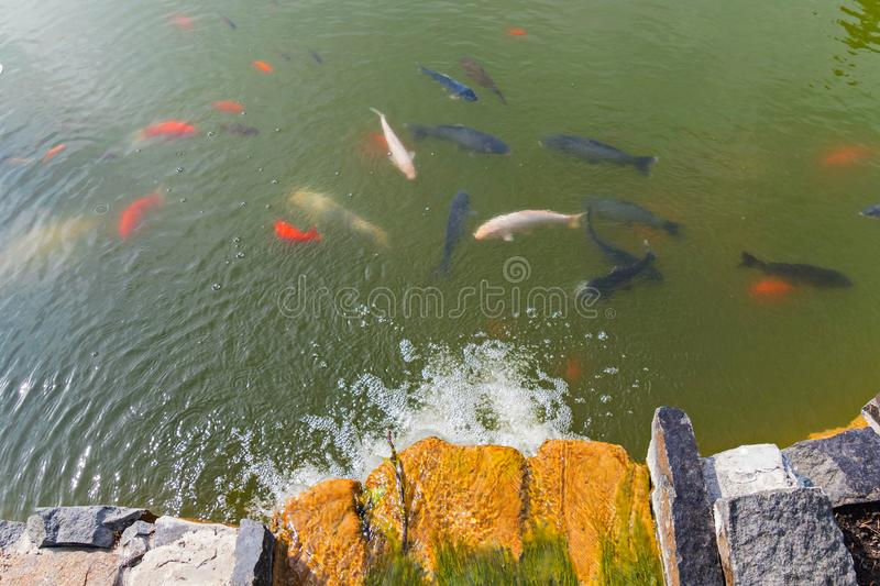 Various subspecies of golden pond fish float under the surface of water near an artificial waterfall. For your design stock images