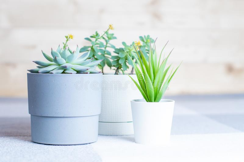 Various succulents in simple white and grey plastic pots, home or office flowers indoors. Different succulents in simple white and grey plastic pots, home or royalty free stock images