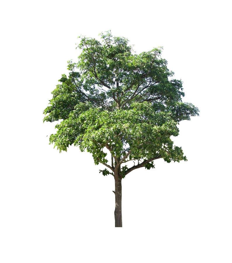 Perennial tree set of Thailand no.20 isolated on white background stock photos