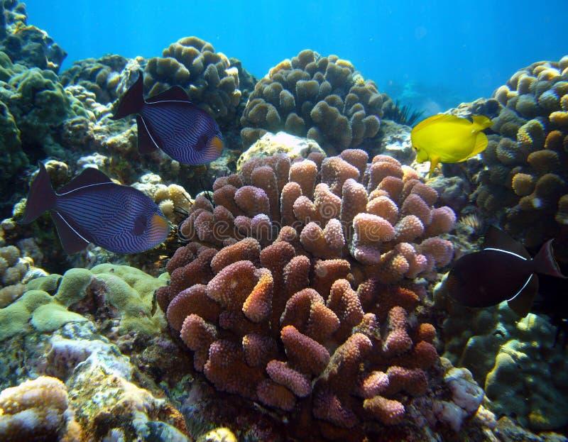 Download Various Tropical Fish And Corral At Maui Hawaii Stock Photos - Image: 16933173