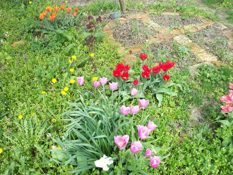 Various tulips and wild flowers stock images