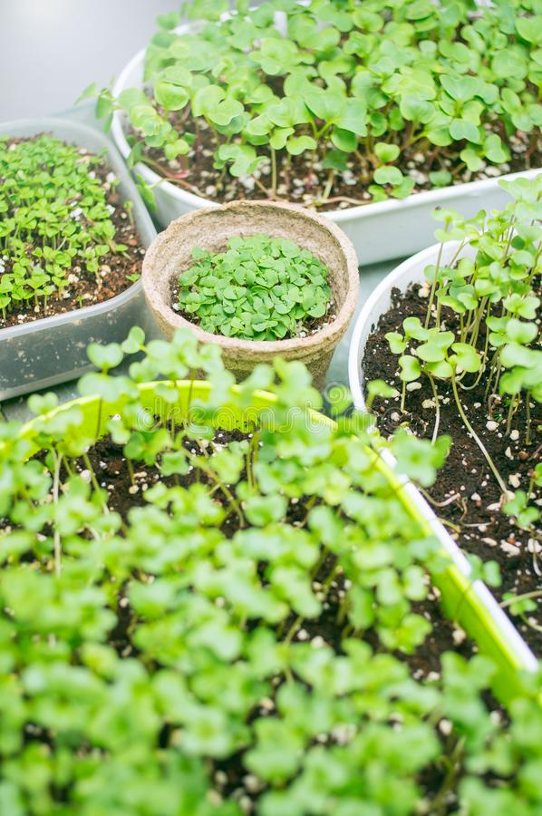 various types of microgreen plants being grown under artificial light royalty free stock image