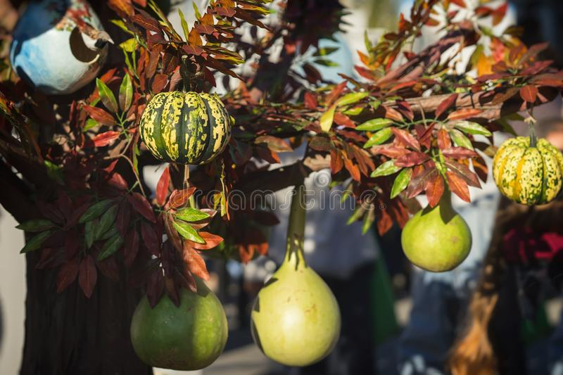 Various types of pumpkins and squash on a tree branch. Decoration for holidays, especially on Thanksgiving Day stock photography
