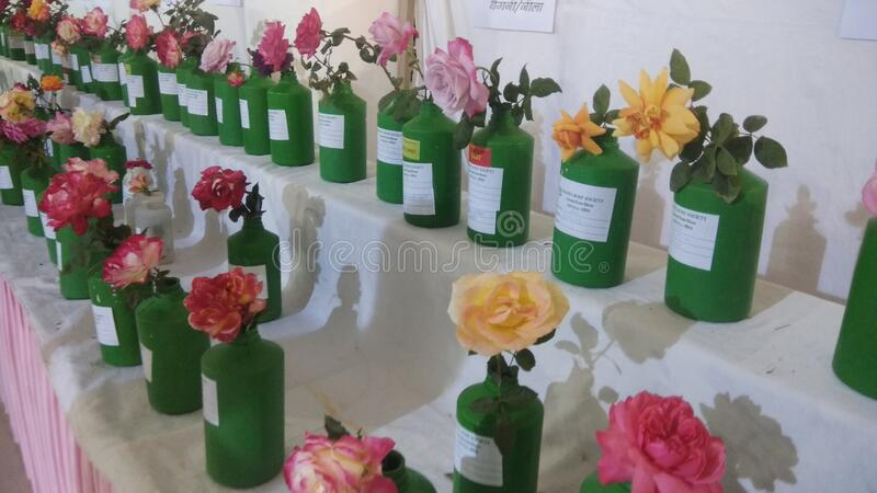 Various varieties of roses in a rose show in Indore India royalty free stock images