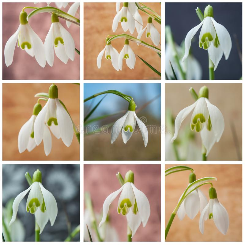 various view of snowdrops collage royalty free stock images