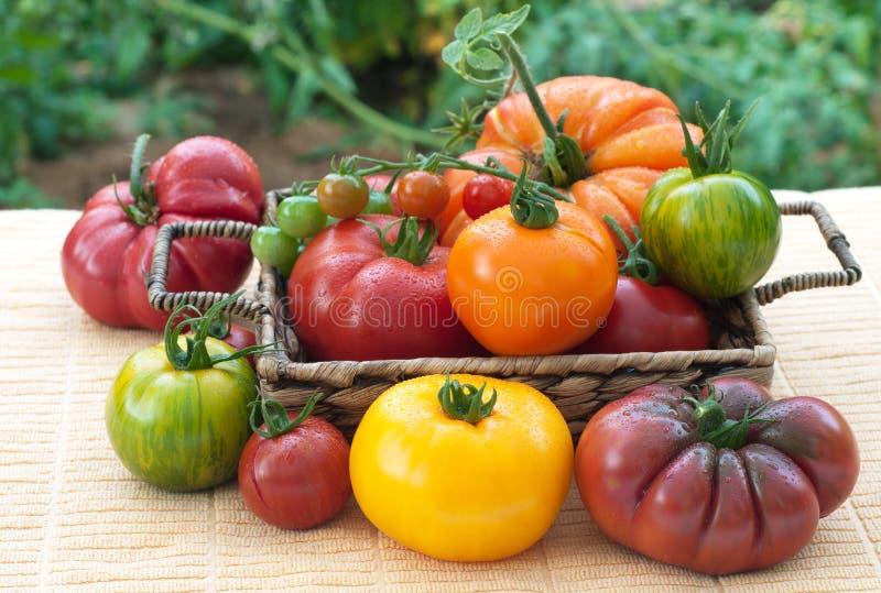 Varitey do escolhido recentemente, home - tomates crescidos imagens de stock royalty free